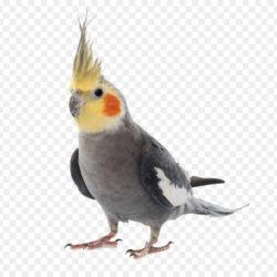 Cockatiel Birdcage Budgerigar