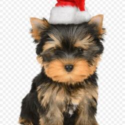 Yorkshire Terrier Puppy Santa Claus Christmas Card