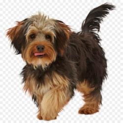 Yorkshire Terrier Puppy Yorkipoo Poodle Crossbreed Adika Childampaposs World El  Postimage
