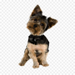 Yorkshire Terrier Puppy Yorkipoo Pug Golden Retrie Puppy
