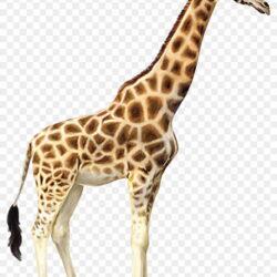 Giraffe Clipart Transparent Background Giraffe T1azy